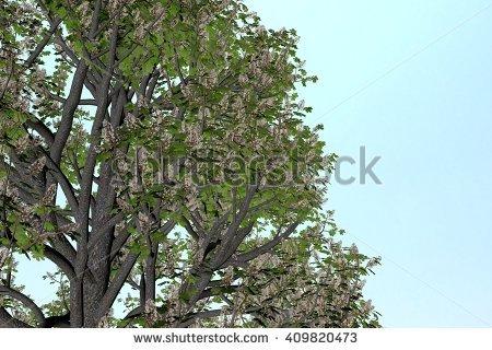 Buckeye Isolated Tree Stock Photos, Royalty.