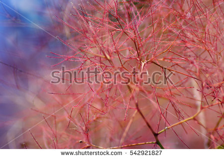 Cotinus Coggygria Stock Photos, Royalty.