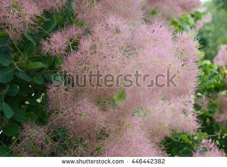Powder Puff Tree Stock Photos, Royalty.