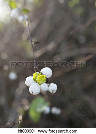 Stock Photography of Common snowberry with fuit hlf000301.