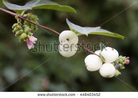 Common Snowberry Stock Photos, Royalty.