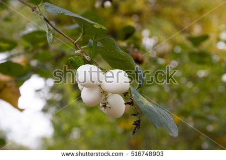 Snowberry Stock Images, Royalty.