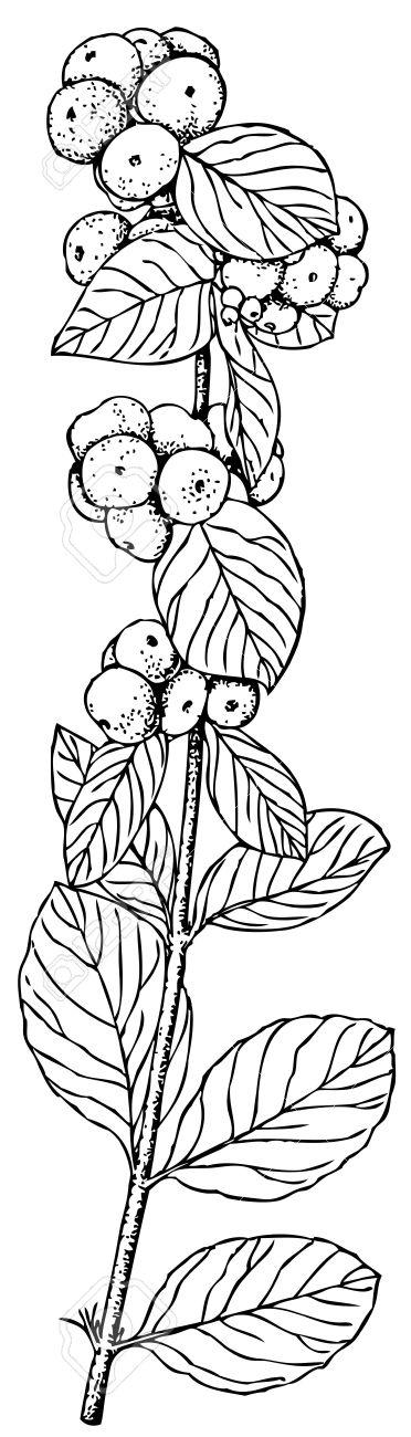 Plant Symphoricarpos Albus (Common Snowberry) Royalty Free.