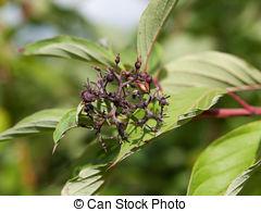 Picture of Symphoricarpos albus (Common snowberry) berries.