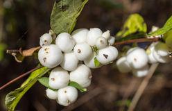 Symphoricarpos Albus (Common Snowberry) Royalty Free Stock Photos.