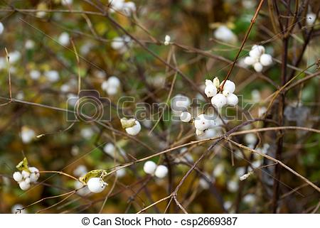 Picture of Symphoricarpos albus (Common snowberry) berries.