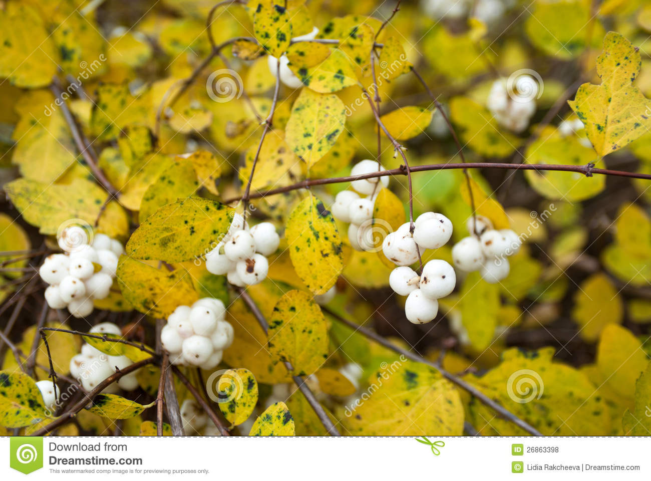 Symphoricarpos Albus (Common Snowberry) Royalty Free Stock Photos.