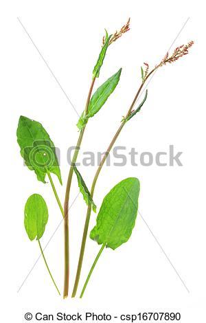 Stock Photographs of Garden sorrel (Rumex acetosa).