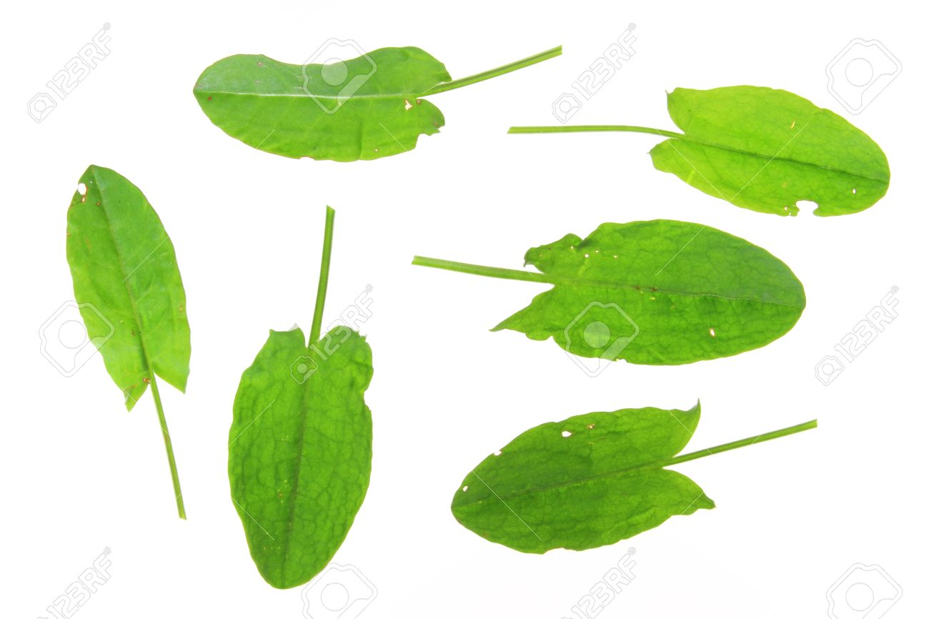 Leaves Of Common Sorrel Rumex Acetosa , Isolated In Front Of.