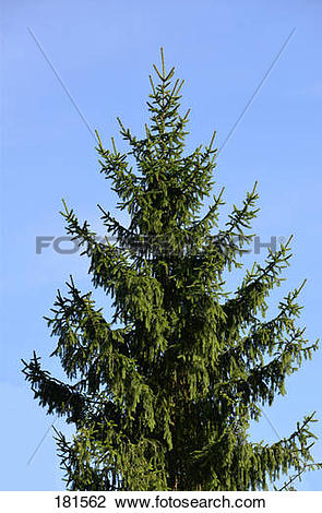 Stock Photo of Norway Spruce, Common Spruce (Picea abies), tree.