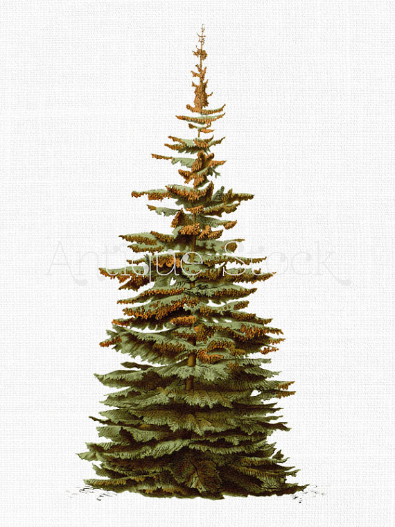 Common spruce clipart - Clipground