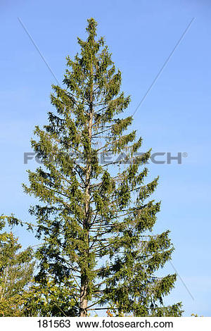 Stock Photo of Norway Spruce, Common Spruce (Picea abies), damaged.