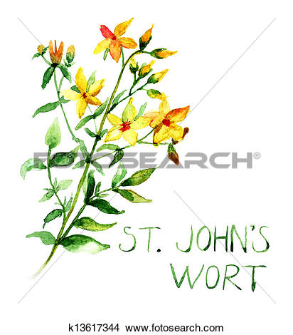 Drawings of Common St John's Wort wild plant Hype rforatum.