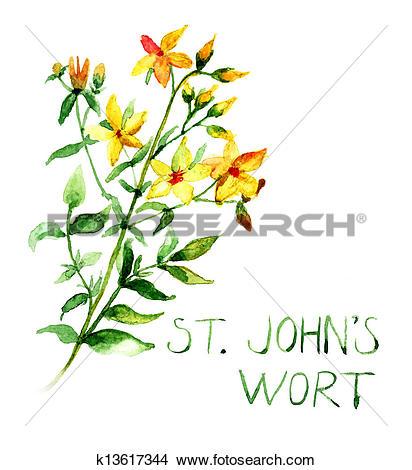 Drawings of Common St John's Wort wild plant Hype rforatum.