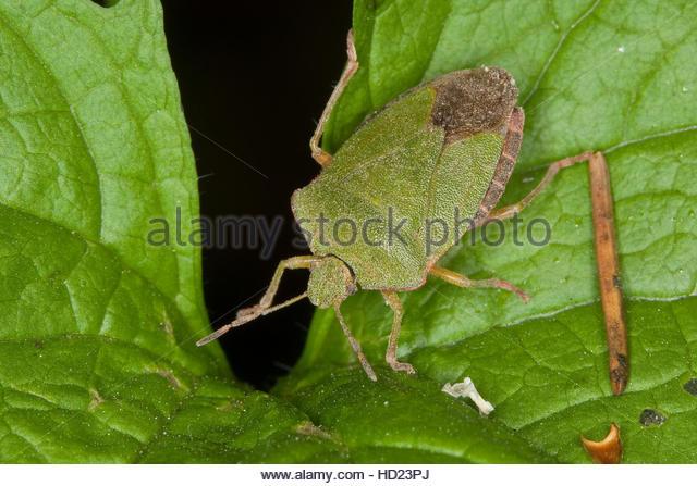 Common Shield Bug Stock Photos & Common Shield Bug Stock Images.