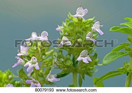 Stock Photo of DEU, 2009: Common Thyme (Thymus vulgaris.