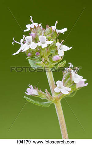 Stock Photograph of Common Thyme (Thymus vulgaris), flowering twig.