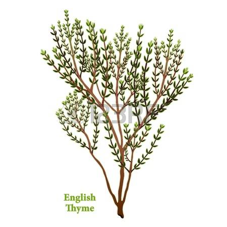 1,191 Thyme Stock Illustrations, Cliparts And Royalty Free Thyme.