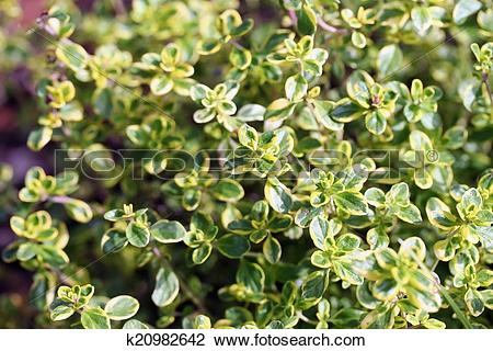 Stock Photo of Thymus vulgaris (common thyme, garden thyme.