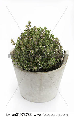 """Stock Photo of """"Common thyme (Thymus vulgaris), herb, medicinal."""