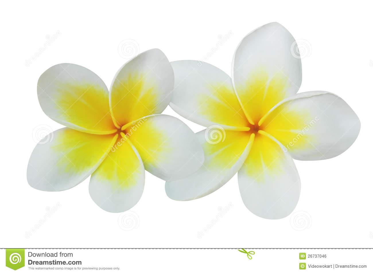 White frangipani clipart 20 free
