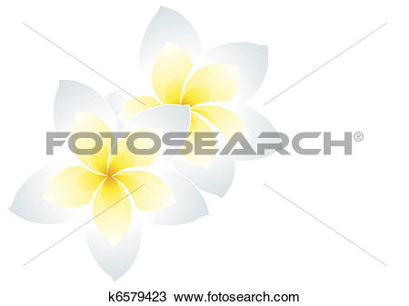 Drawing of white frangipani k6579423.