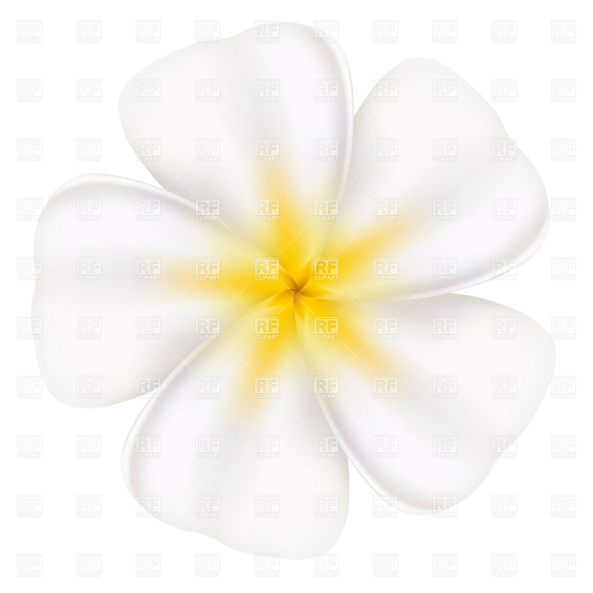 Beautiful frangipani flower Vector Image #7338.