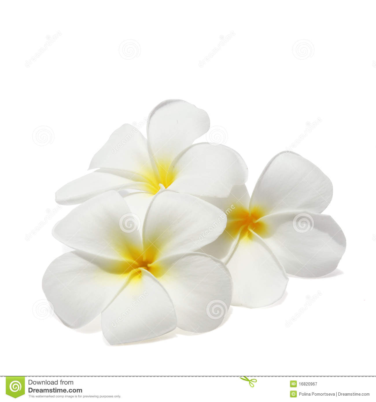 Tropical Flowers Frangipani Isolated On White Royalty Free Stock.