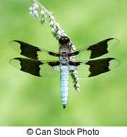 Stock Photo of Common Whitetail II.