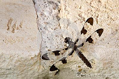 Common Whitetail Skimmer Dragonfly Stock Photos.