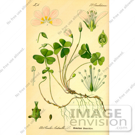 Picture of Common Wood Sorrel (Oxalis acetosella).