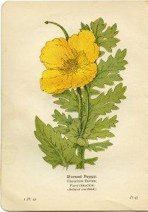 yellow wood sorrel, oxalis stricta, vintage botanical illustration.