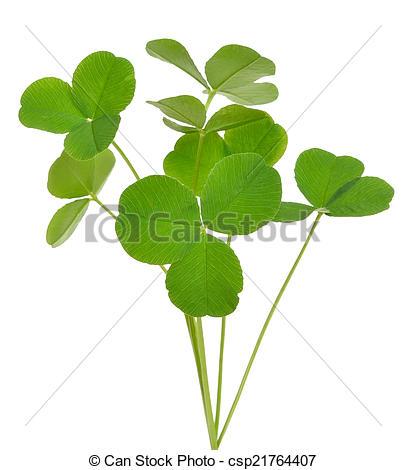 Stock Photography of Oxalis acetosella (wood sorrel) plant.