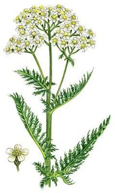 "Achillea millefolium. Carl Axel Magnus Lindman's ""Bilder ur."