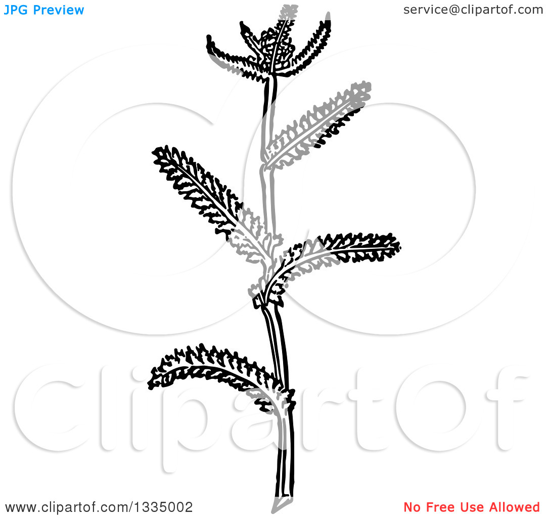 Clipart of a Black and White Woodcut Herbal Medicinal Yarrow Plant.
