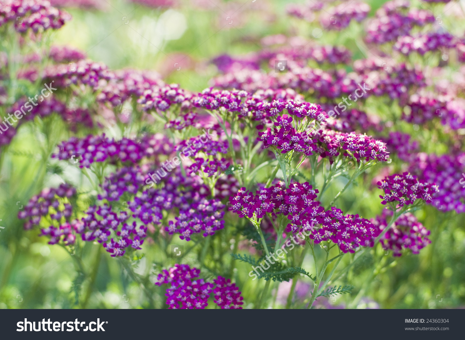 Purple Cultivar Common Yarrow Achillea Millefolium Stock Photo.