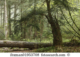 Yew tree Stock Photo Images. 552 yew tree royalty free pictures.