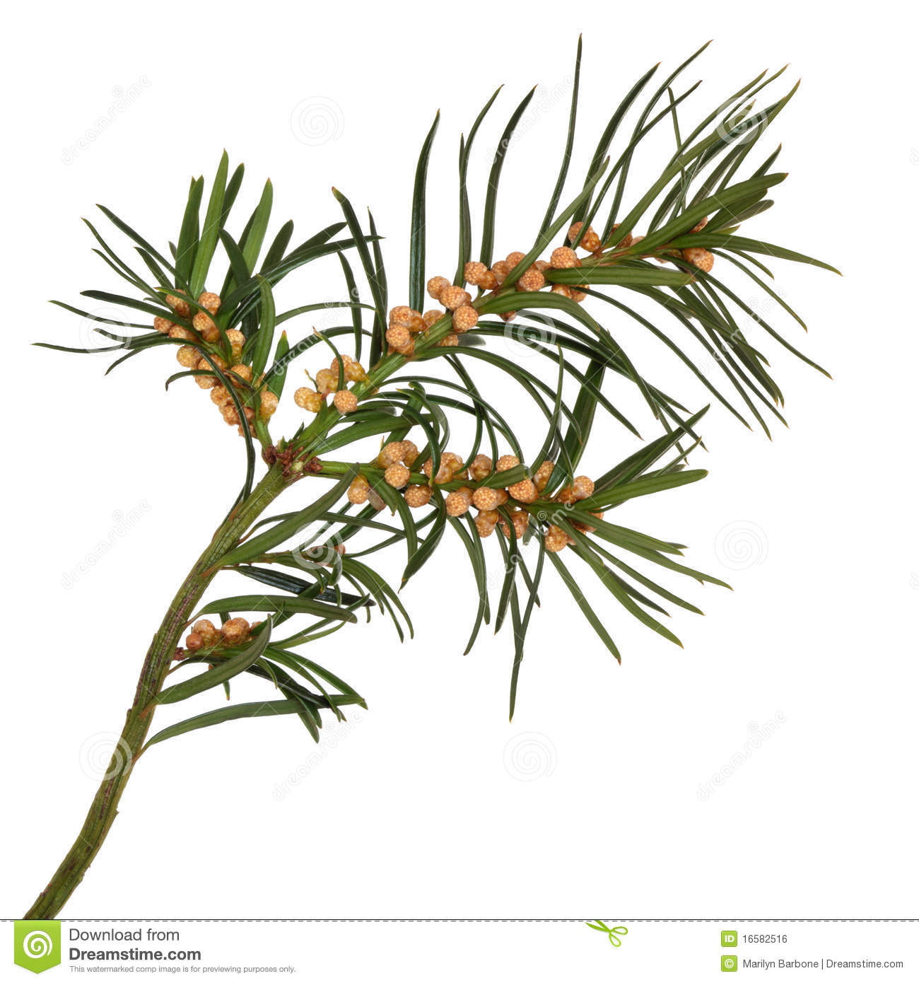 Yew Leaf Sprig Royalty Free Stock Image.