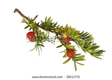Yew Tree Stock Images, Royalty.