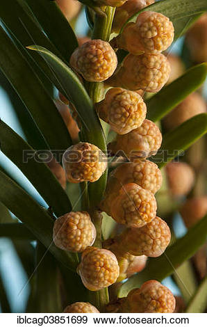 """Stock Photograph of """"English Yew or Common Yew (Taxus baccata."""