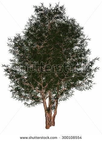 Yew Tree Stock Photos, Royalty.