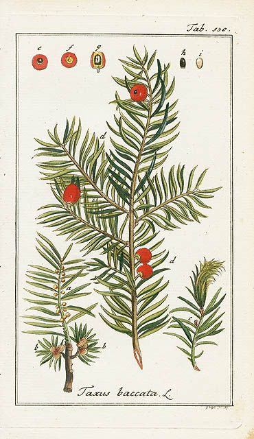 1000+ ideas about Taxus Baccata on Pinterest.