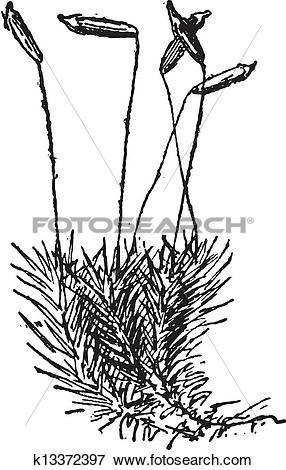 Clip Art of Common Haircap Moss or Polytrichum commune, vintage.