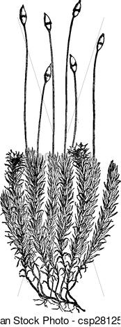 Vector Clip Art of Polytrichum commune (Moss), vintage engraving.