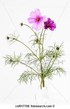 botânica cosmos bipinnatus.