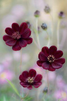 Pink Cosmos Seeds Gloria, Cosmos bipinnatus, Cosmos.