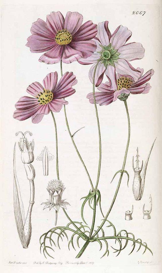 Bidens bipinnatus [syn. Cosmos bipinnatus Cav.] [as Cosmos.