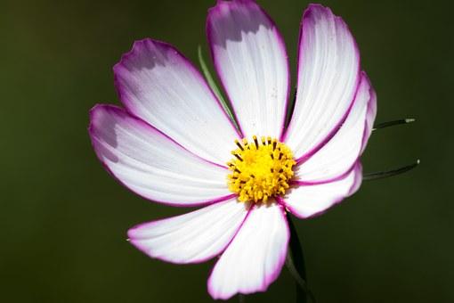 Cosmos, Bipinnatus.