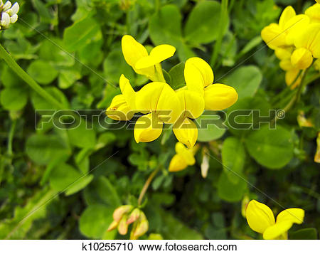 Stock Photography of Horseshoe Vetch (Hippocrepis comosa k10255710.