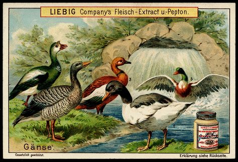 1899. Types of Fowl (Geese) trading card issued by Liebig.